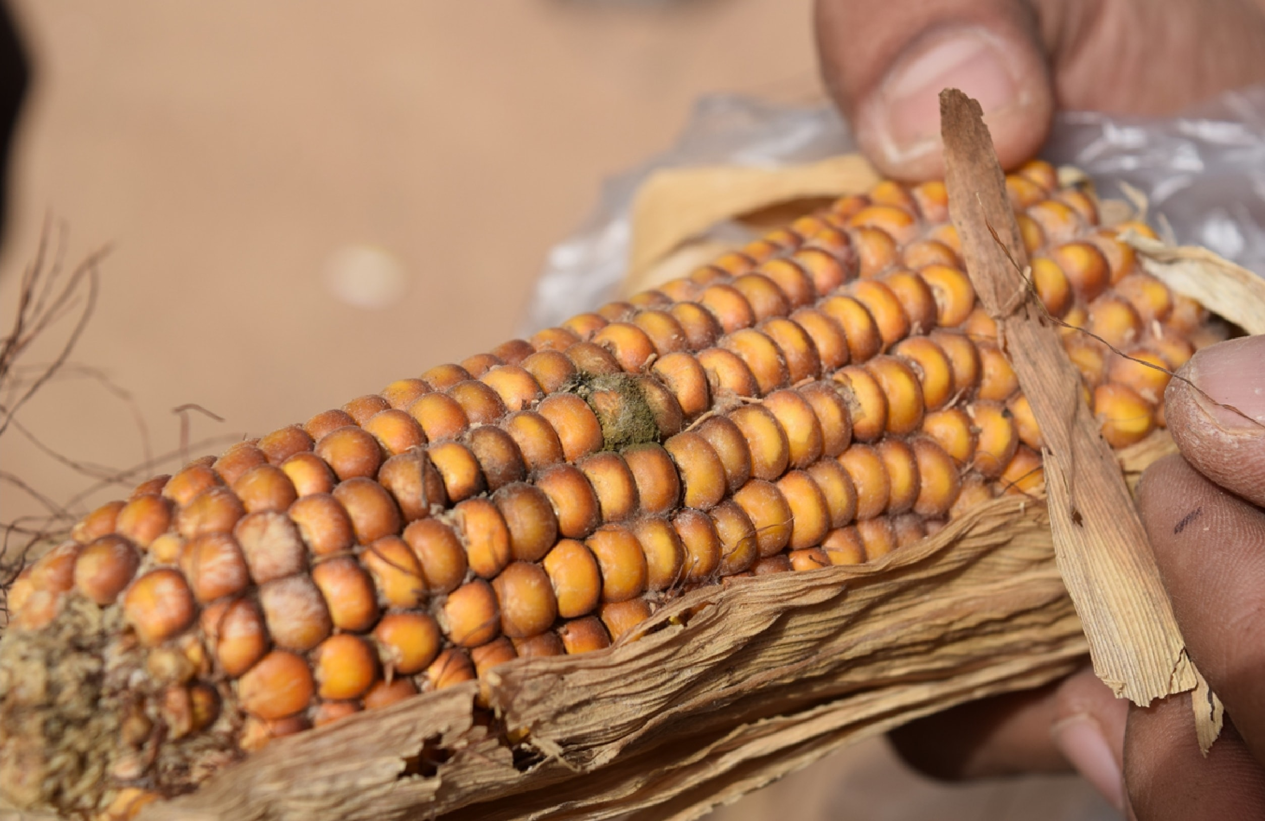 iita controls aflatoxin 2