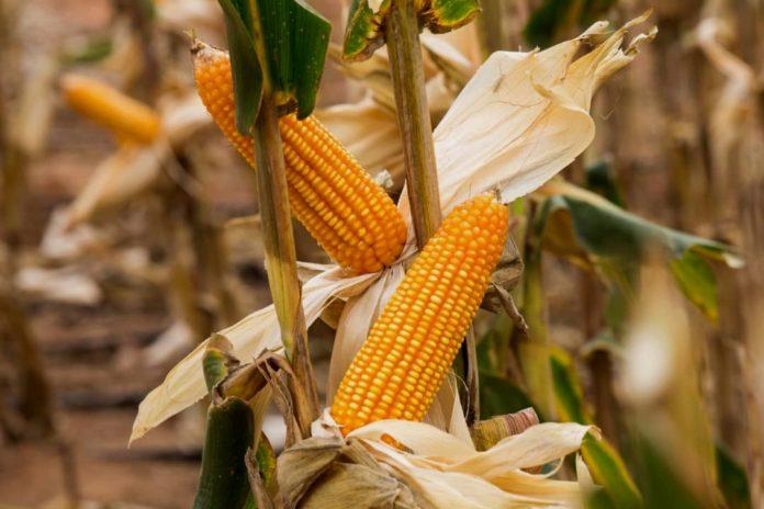 Yellow-corn-696x464